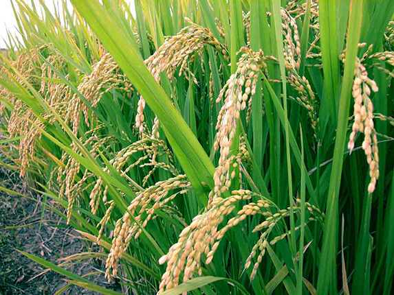 basmati rice Export Price